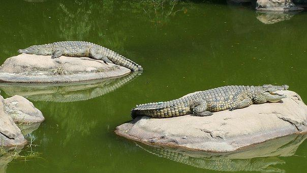 Crocodile, Lazy Day, Crocodiles On Rocks