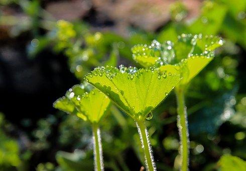 Palástfű, Dew, Water Droplets, Herb, Green Leaf, Drops