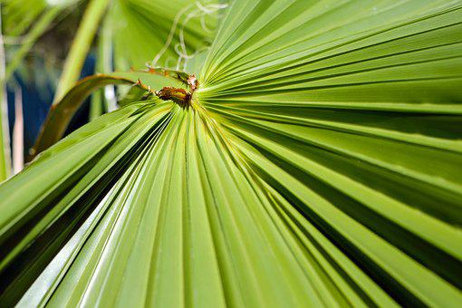 Leaf, Palm Leaf, Fan Palm, Palm Fronds, Green