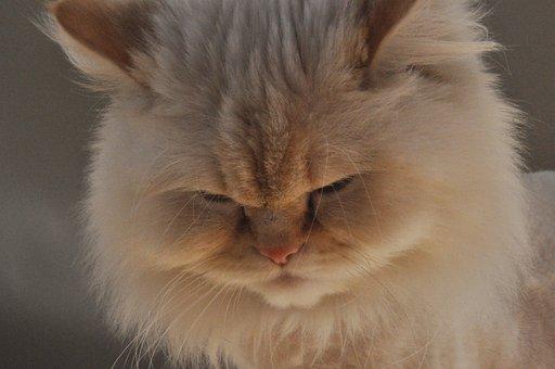 Himalayan, Himalayan Cat, Female Cat, White Cat, White