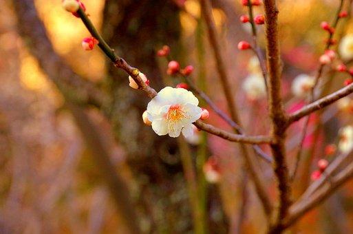 Plum, Japan, Flowers, Natural, White Flowers