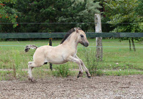 Foal, High Country Pony, Fawn, Gallop, Spout