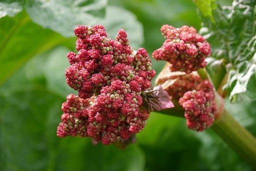 Rhubarb, Rhubarb Flower, Nature, Garden