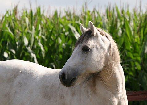 Pony, High Country Pony, Gelding, Mold, Corn