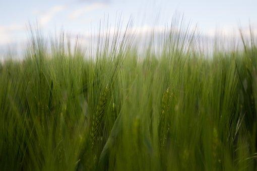 Cornfield, Field, Green, Agriculture, Nature, Grain