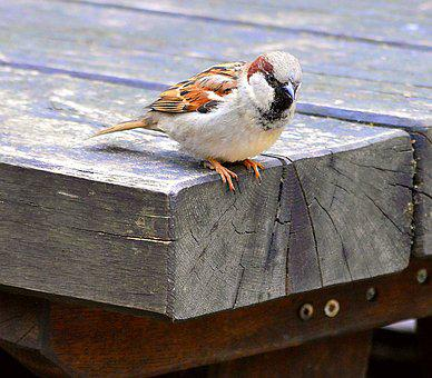 Sparrow, Sperling, Songbird, House Sparrow, Nature