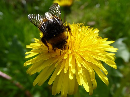 Buttercup, Snapdragon, Dandelion, Bee, Hummel