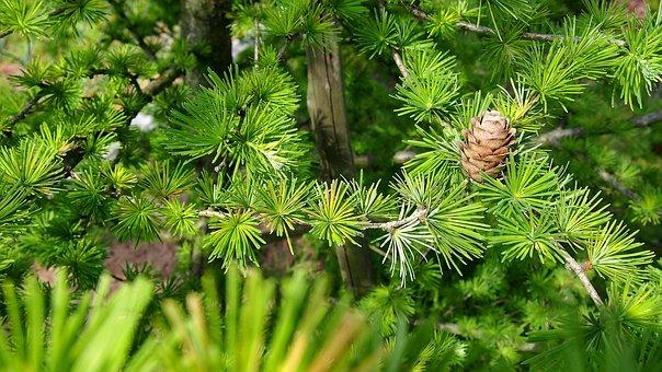 Pine Cone, Larch, Tree, Sprig, Closeup, Nature