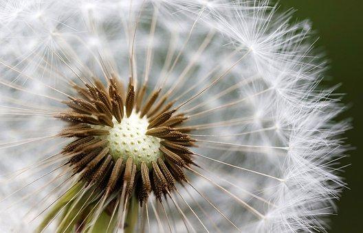 Nuns, Macro, Field, Dandelion, Seeds, Meadow, Weed