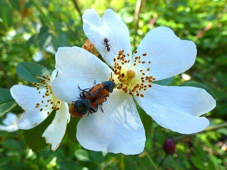 Mylabris Quadripunctata, Ladybug, Beetle Meloideo