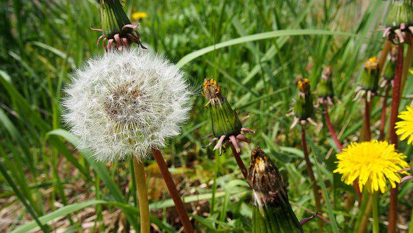Sonchus Oleraceus, Dandelion, Plant, Nuns, Meadow
