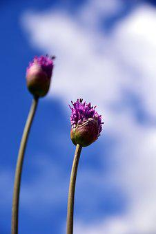 Leek, Giant Allium, Violet, Purple, Ornamental Onion