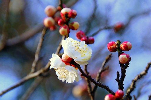 Plum, Japan, Spring, Flowers, Natural, White Flowers