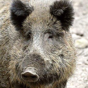 Boar, Proboscis, Bristles, Animal, Ears, Eyes, Nature