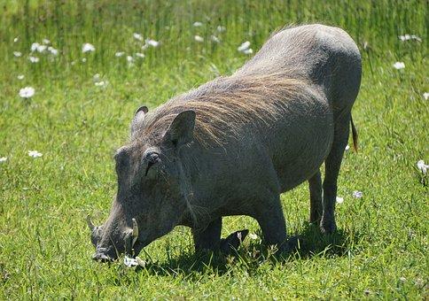Warthog, Pumba, Africa