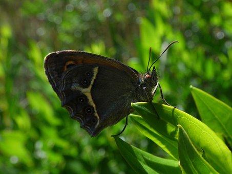 Butterfly, Detail, Lobito List, Pyronia Bathseba