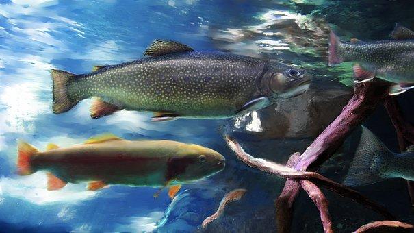 Trout, Fish, Aquarium, River, Stream, California
