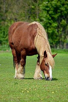 Schleswig Coldblood, Horse, Livestock Breed