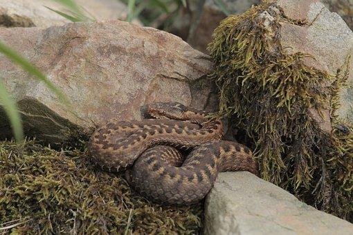 Snake, Nature, Reptile, Animal, Venom, Animals, Habitat