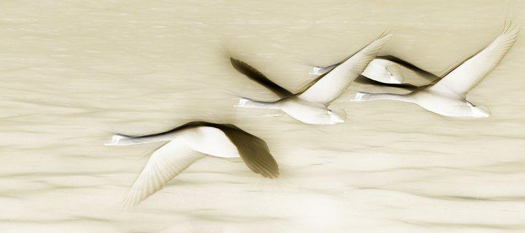 Swan, Fly, Birds, Swans, Waterfowl, Water, Water Bird