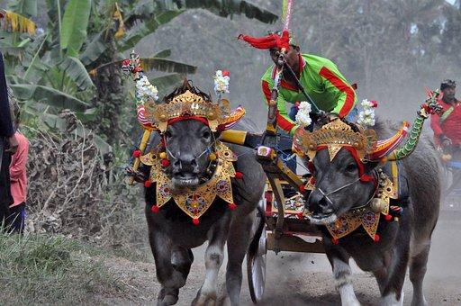Water Buffalo, Water Buffalo Race, Tabanan, Bull Race