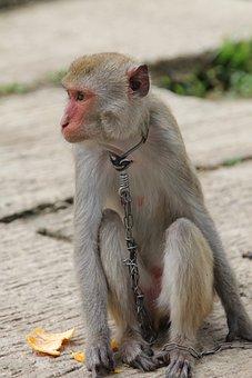 Monkey, The Mamak, Vietnam