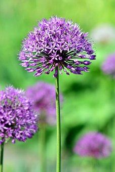 Leek, Ornamental Onion, Giant Allium, Blossom, Bloom
