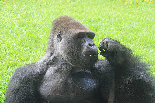 A Silver Back Gorilla, Zoo, Eating, Ash Black, Captive