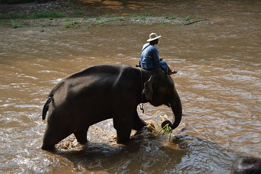Camp Elephants, Elephant, Thailand, Caregiver Elephant
