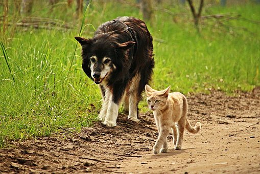 Dog, Cat, Friendship, Walk, Tiger Cat, Border Collie
