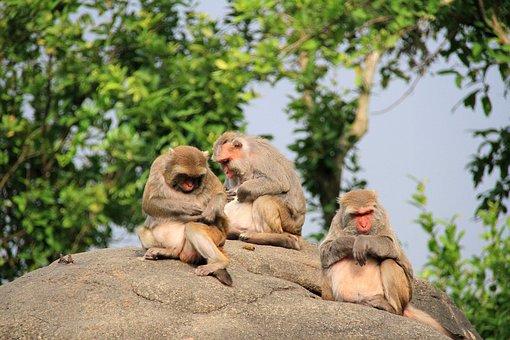 Monkey, Three, Large Stone, High, Grooming, Companion