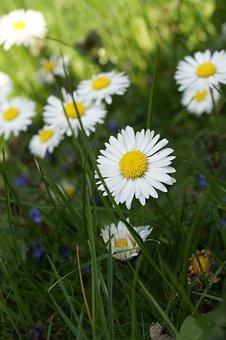 Garden, Plant, Blossom, Bloom, White, Daisy, Flower