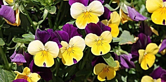 Pansy, Flower Garden, Flowers, Pink, White, Garden