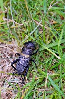 Beetle, Cicada, Nature, Animal, Black, Grasshoppers
