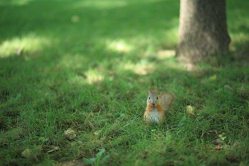 Squirrel, Squirrel On The Grass, Grass, Green Grass