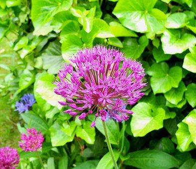 Hagymavirág, Flower, Purple Flower, Purple, Plant