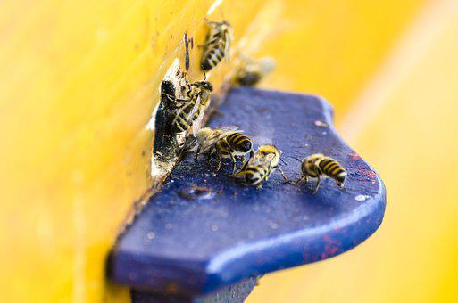 Bees, Honey Bees, Beehive, Nature, Insect, Apis, Animal