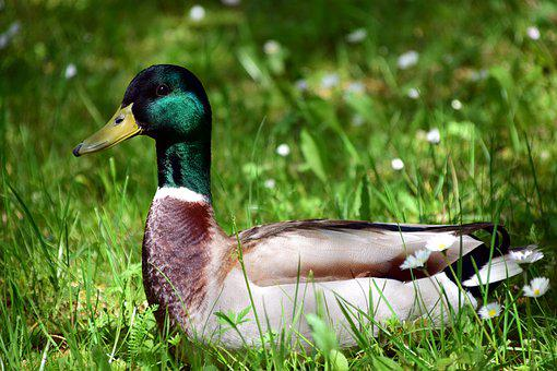 Duck, Meadow, Bird, Nature, Water Bird, Drake, Close