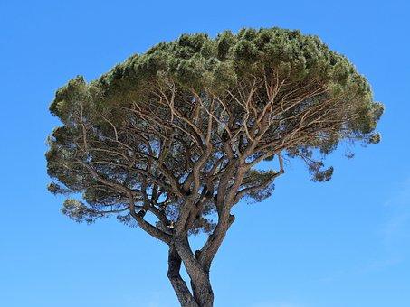 Pine, Crown, Stone Jaw, Italy, Mediterranean, Nature