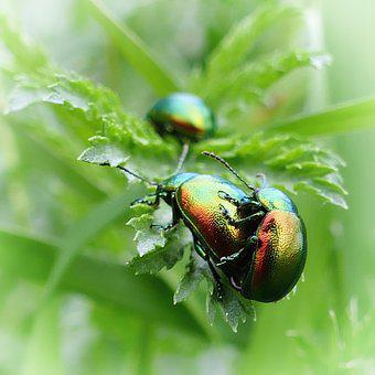 Beetle, Ovaläugiger Leaf Beetle, Green, Iridescent