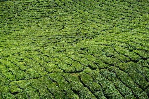 Tea, Tea Plants, Field, Green, Tea Garden, Plant, Peace