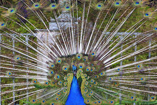 Peacock, Tail, Directly, Eye, Pen, Color, Park, Dashing