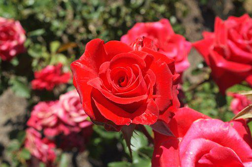 Rose, Red, Flowers Safflower