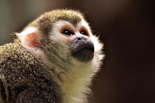 Monkey, äffchen, Cute, Small, Capuchins