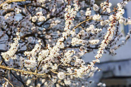 Spring, Flowers, Color Apricot, Handsomely, Nature