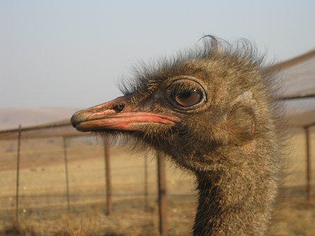 Strauss, South Africa, Animal