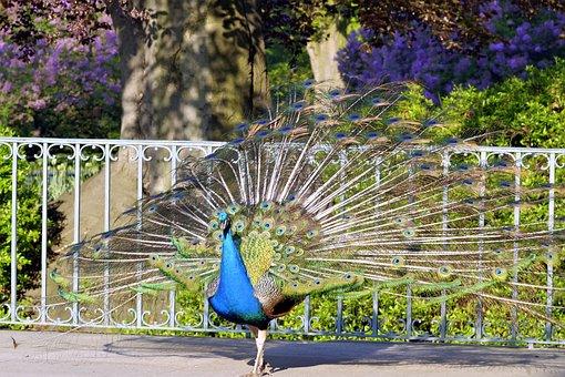 Peacock, Tail, Eye, Pen, Color, Park, Dashing, Gorgeous