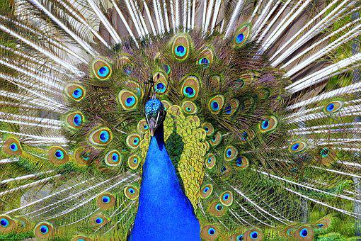 Peacock, Tail, Directly, The Front Of The, Eye, Pen