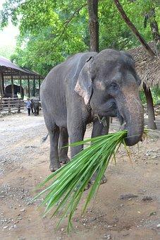 Camp Elephants, Elephant, Thailand, Caregiver Elephant