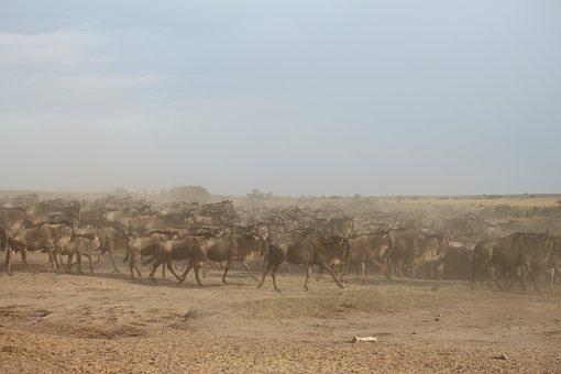 Wildebeest Migration, Great Migration, Wildebeest